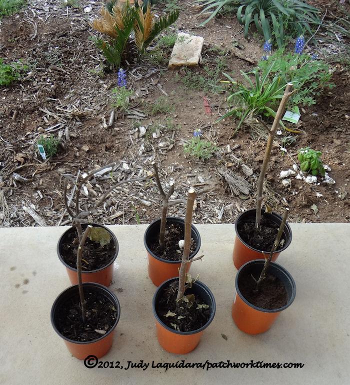Six Little Fig Trees
