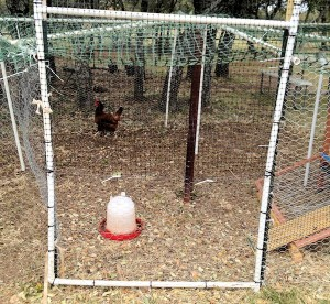 Chicken in Jail
