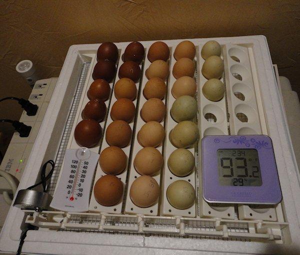 Eggs in the Incubator