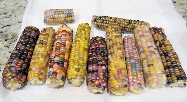 Glass Gem Corn Update