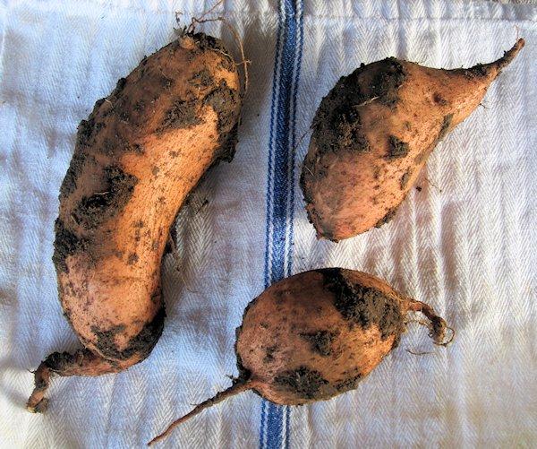 Sweet Potato Diggin' Time