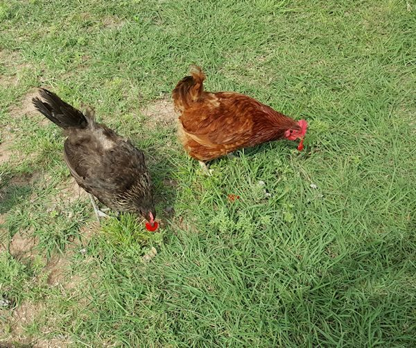 Tomato Eating Chickens