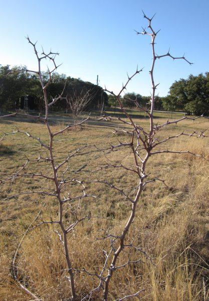 Jujube Tree