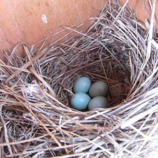 Bluebirds Are Nesting