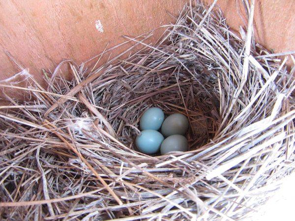 Bluebird Eggs