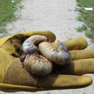 Giant Grubs
