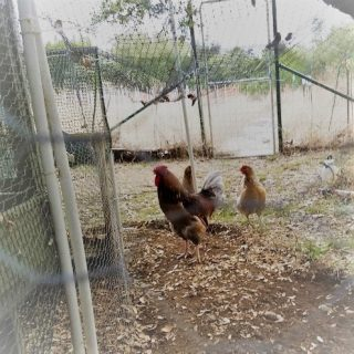 Misbehaving Chickens