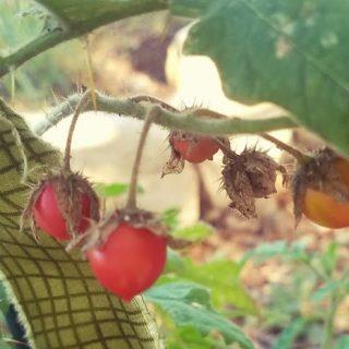Litchi Tomatoes