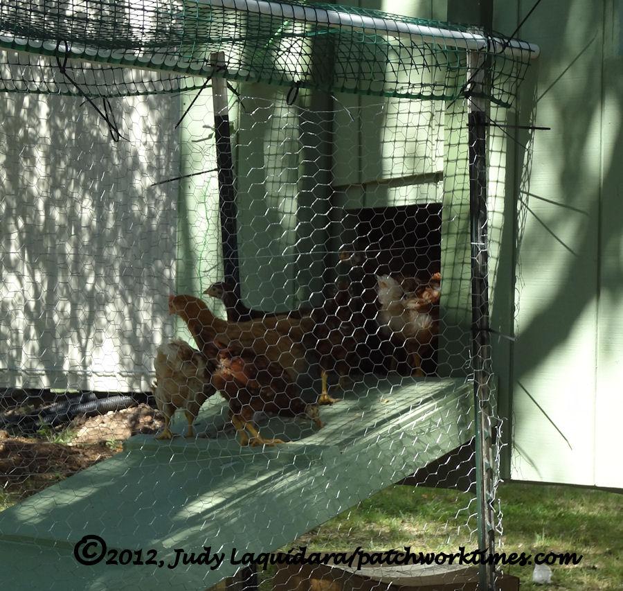 Those Crazy Chickens