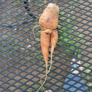 The Bad Carrot
